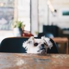 Sweet dog so cute mixed breed with Shih-Tzu, Pomeranian and Poodle looking something in a coffee shop cafe